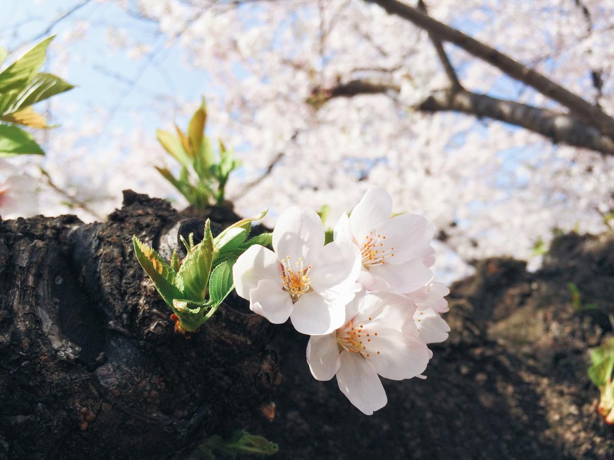 桜(東京工業大学にて)